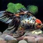 popular-aquarium-fish-high-quality_263679[1]
